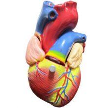 بازی آموزشی طرح مولاژ قلب با نمایش آئورت مدل ASM10
